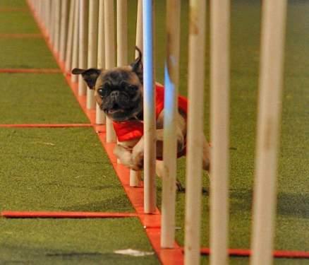 pug dog doing agility weaves